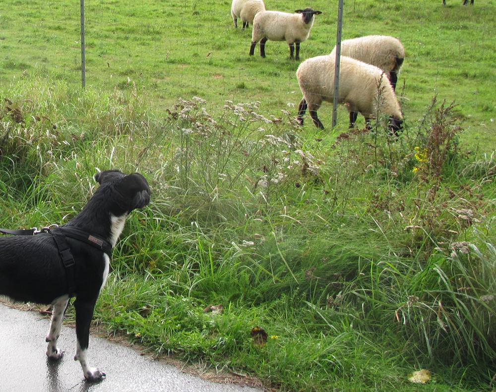 Schafe gucken