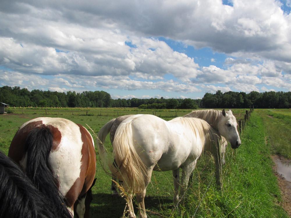 Pferde im Grand Ried