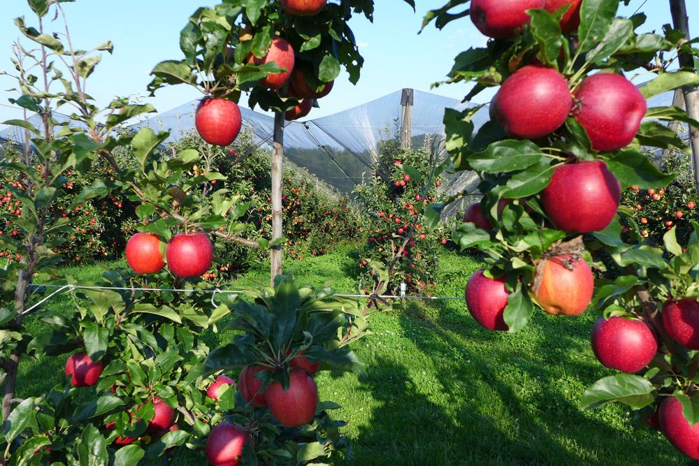 Apfelplantage bei Kukmirn
