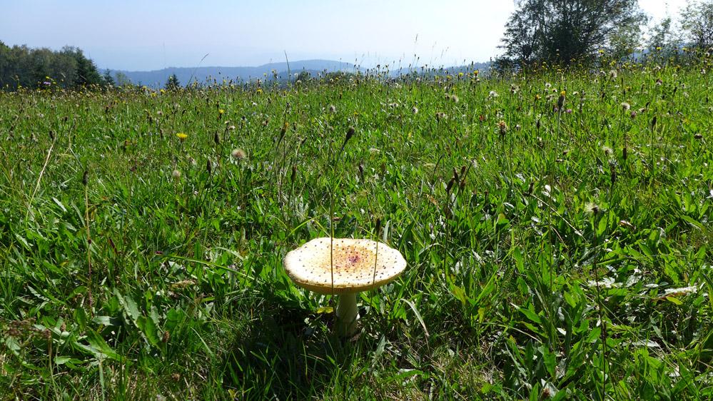 Wildblumenwiese auf dem Jauerling