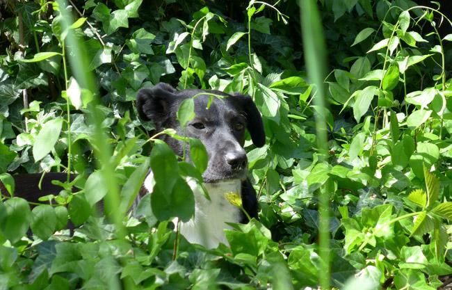 Hund im Efeu