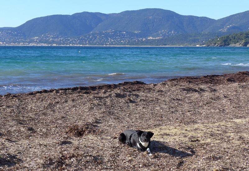 Plage de Gigaro - auf Seetang und Seebällen liegt es sich weich