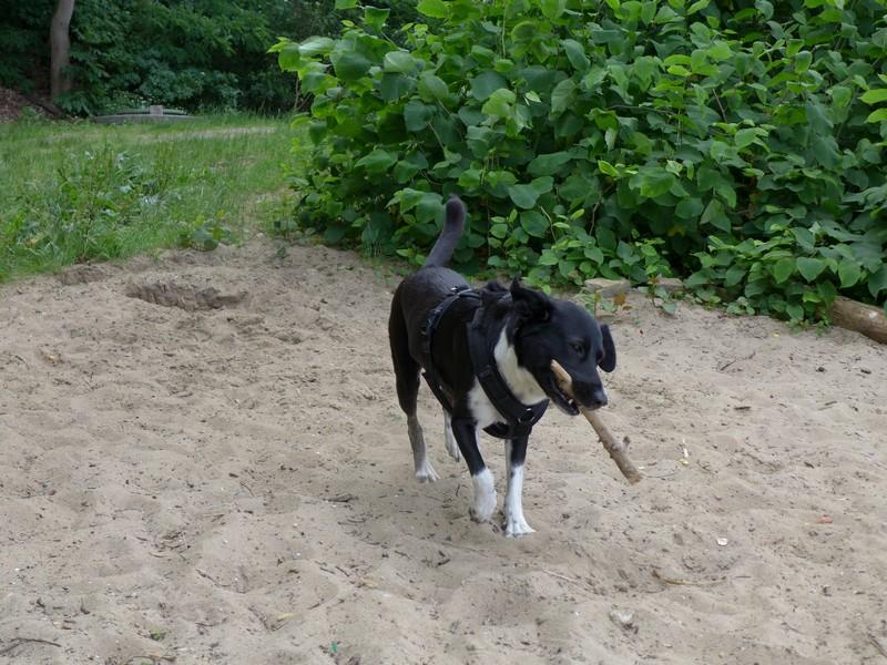 Unser Hund Alfa spielt mit Stock