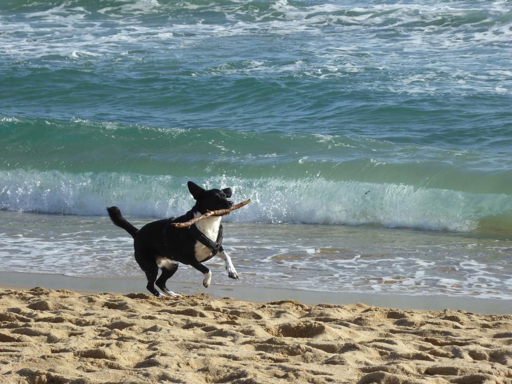 Flitzender Hund am stürmischen Meer