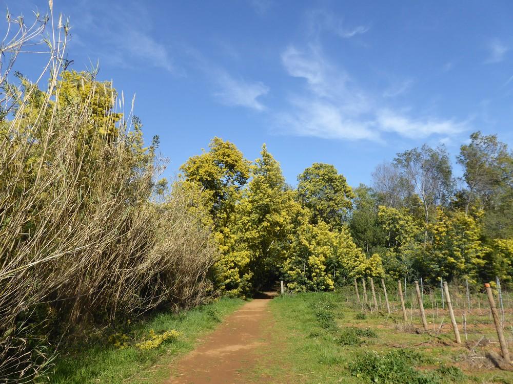Entlang von Weinfeldern und Mimosen