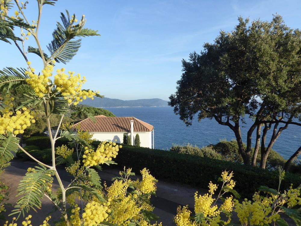 Blühende Mimosen und Blick auf's Meer - Frühling im Februar