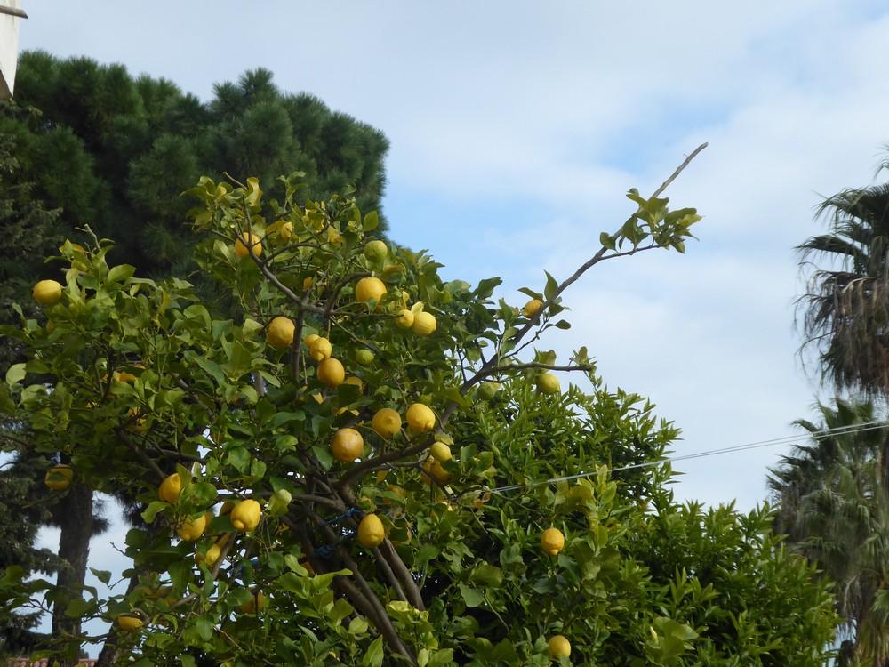Viele Zitronen :-)