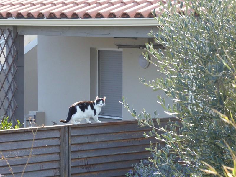 Katze Saint Pierre