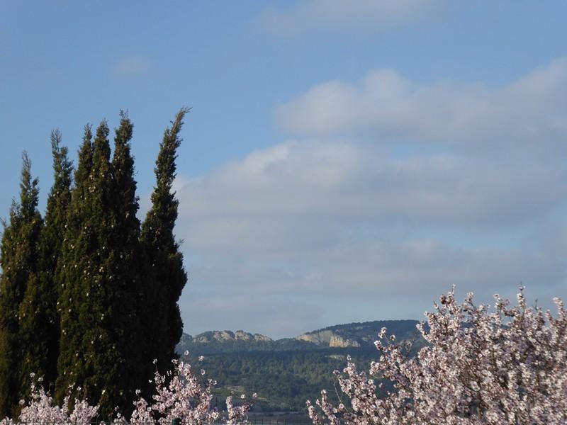 Mandelblüte im Februar mit Blick zum Massif de la Clape